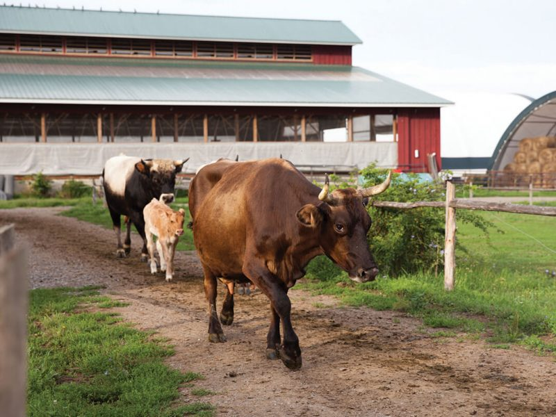 bull, calf and cow head out to pasture together